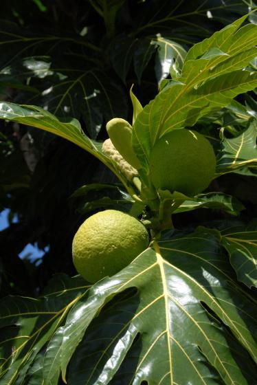"""L'artocarpe est le nom scientifique de l'arbre-à-pain (artocarpus) plus connu sous le nom créole de """"fuyapin"""" ou """"fuiyapin""""."""